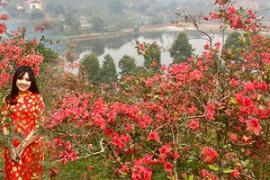 Đắm chìm trong 'Vương quốc hoa đỗ quyên' rực rỡ sắc màu ở Tam Đảo