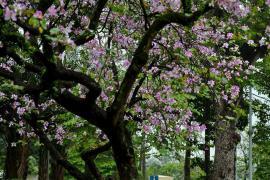 Chùm ảnh: Những ngày ảm đạm vì dịch bệnh và mưa rét, chẳng ai nhận ra hoa ban tím ở Hà Nội đã lặng lẽ bung nở từ khi nào